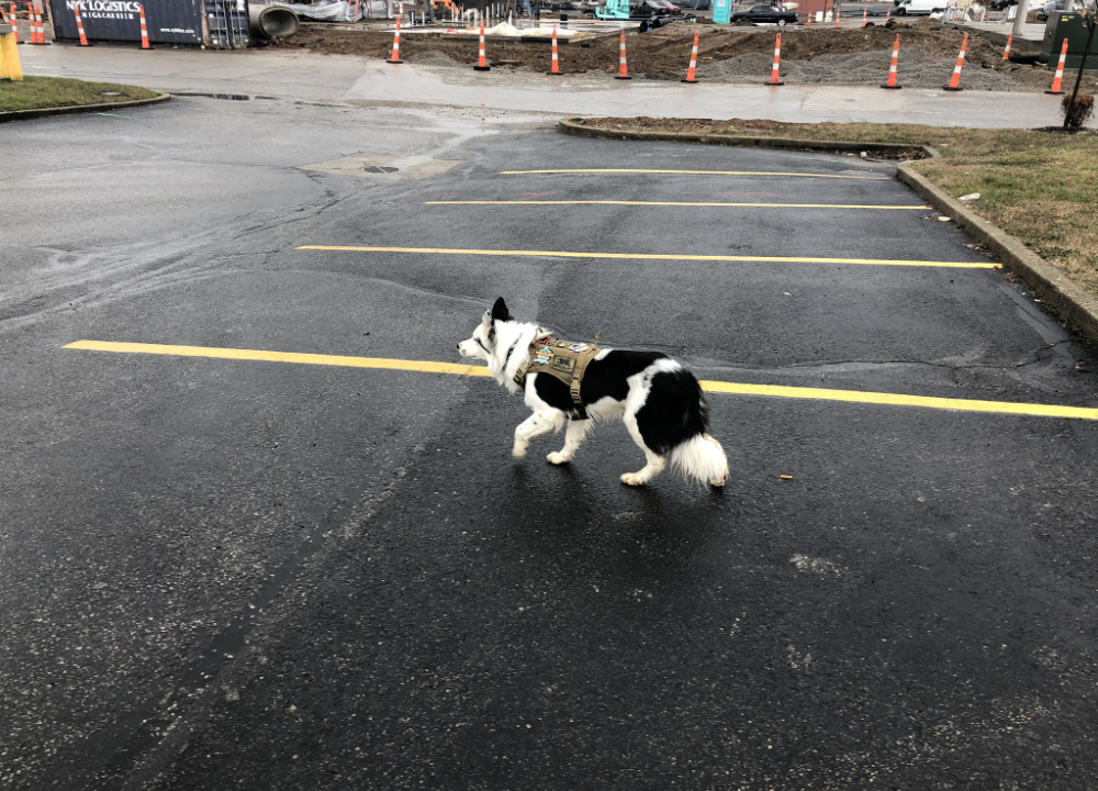 Goose-hazing dog on the job in a parking lot
